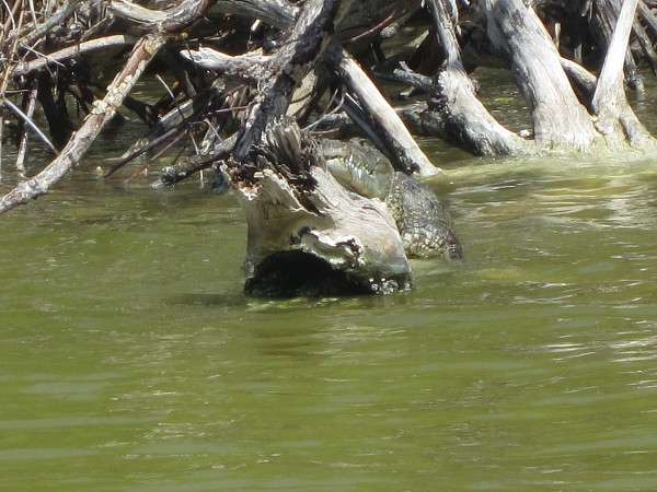 The crocs camouflage into their environment